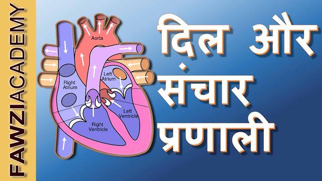 human heart and work | मानव हिर्दय की सरंचना और इसकी कार्य विधि
