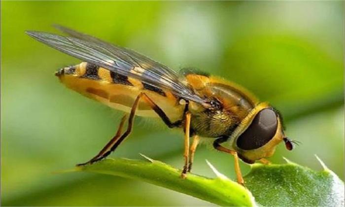 queen-honey-bee